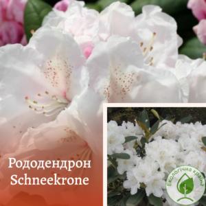 """Рододендрон """"SCHNEEKRONE"""" с7"""