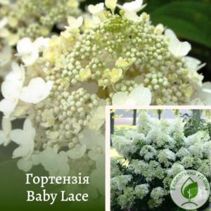 Гортензія Baby Lace 0,15-0,2 м