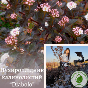 """Пухироплідник калинолистий """"Diabоlo"""" с7. 4-5 річка"""