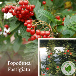 Горобина Fastigiata 0,6-1м
