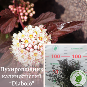 """Пухироплідник калинолистий """"Diabоlo"""" 3-4 річка"""