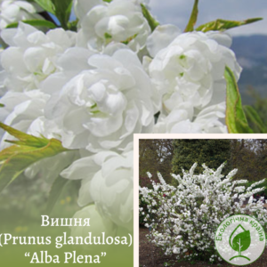 "Вишня (Prunus glandulosa) ""Alba Plena"" 0,5-0,6 м"