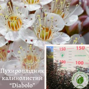 """Пухироплідник калинолистий """"Diabоlo"""" 2-річка"""