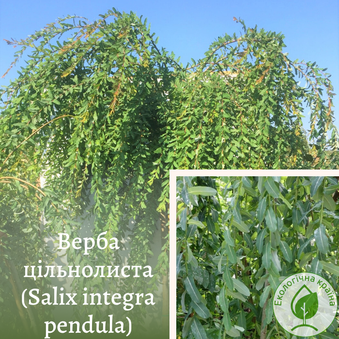 Верба цільнолиста (Salix integra pendula) 1,6-1,8 м