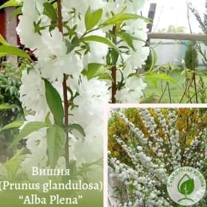 """Вишня (Prunus glandulosa) """"Alba Plena"""" ВКС на штамбі 2-2,5 м"""