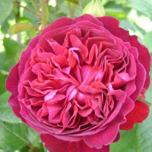 """Троянда """"William Shakespeare"""" ВКС"""