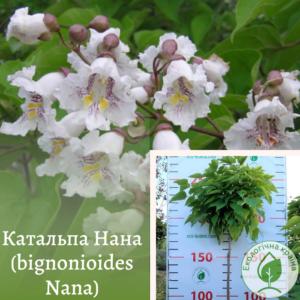 Катальпа Нана (bignonioides Nana).ВКС 2-2,2 м