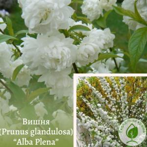 "Вишня (Prunus glandulosa) ""Alba Plena"" на штамбі 1,8 м"