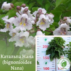 Катальпа Нана (bignonioides Nana) ВКС 2,5-3 м