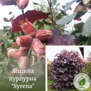 Ліщина пурпурна Syrena