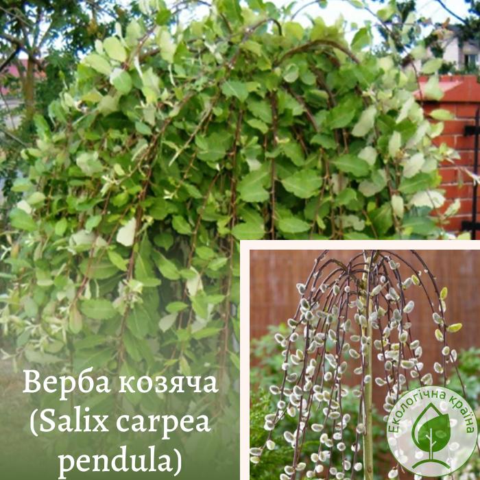 Верба козяча (Salix carpea pendula) 1,6-1,8 м