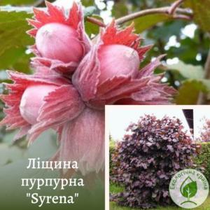 "Ліщина пурпурна ""Syrena"" ВКС 0,7-1 м"