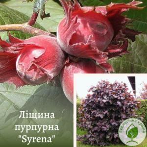 Ліщина пурпурна Syrena крупномір