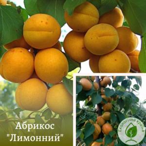"""Абрикос """"Лимонний"""""""