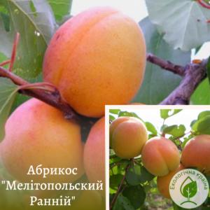 """Абрикос """"Мелітопольский Ранній"""" ВКС 2,3-роки"""