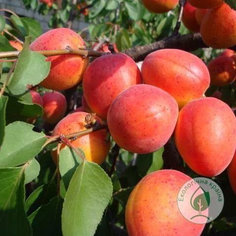 Абрикос-нектарин колоновидний Зірковий. С15