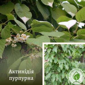 Актинідія пурпурна (чол.ф.)