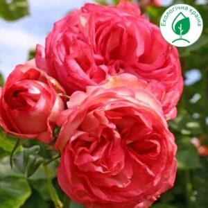 "Троянда ""Antike"""