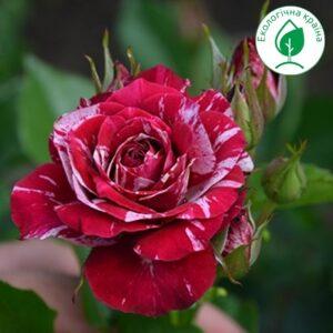 "Троянда ""Arrow Folies"""