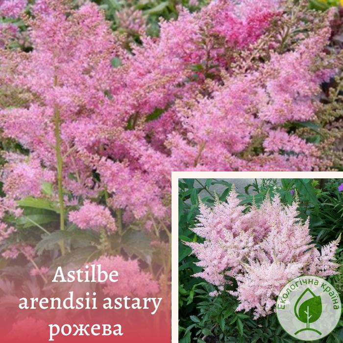 Astilbe arendsii astary рожева