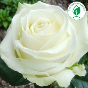 "Троянда ""Avalanche"""