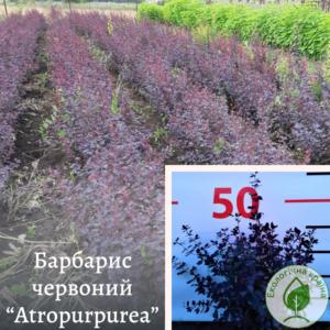 "Барбарис червоний ""Atropurpurea"""