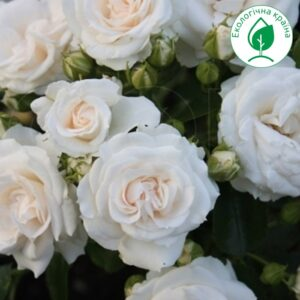 "Троянда ""Біла Ніч"" с7"