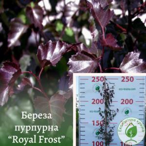 "Береза пурпурна ""Royal Frost"" 2-2,5м"
