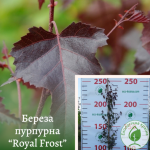 "Береза пурпурна ""Royal Frost"" 2,5-3м"