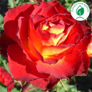 """Троянда """"Bernadette"""""""