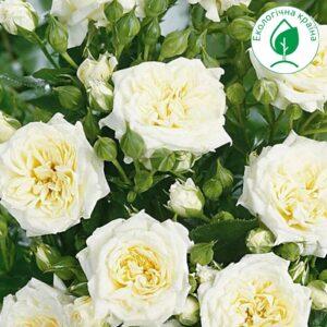 Троянда спрей Біла ВКС
