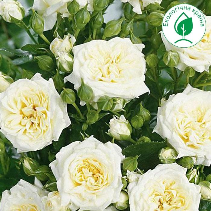 Троянда спрей Біла