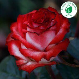 "Троянда ""Blush"""