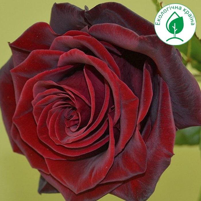 """Троянда """"Black Magic"""""""