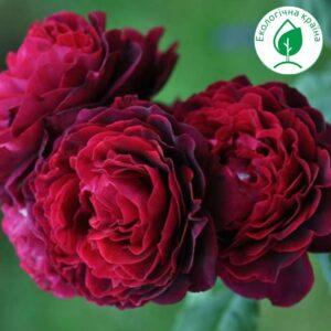 """Троянда """"Бордова"""""""