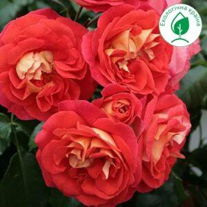 "Троянда ""Brothers Grimm"""