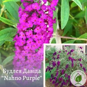 "Будлея Давіда ""Nahno Purple"" 2-річка"