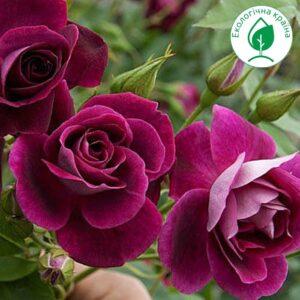 "Троянда ""Burgundy Ice"""