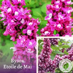 "Бузок ""Etoile de Mai"" ВКС 0,7-1 м"