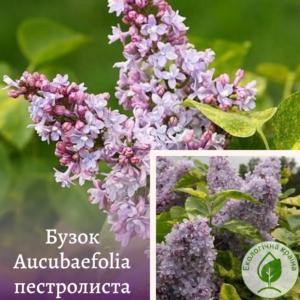 "Бузок ""Aucubaefolia"" пестролиста ВКС 0,7-1 м"