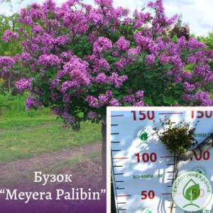 """Бузок """"Meyera Palibin"""" на штамбі 1,5-1,7 м"""