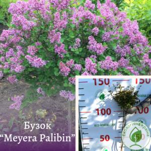 """Бузок """"Meyera Palibin"""" на штамбі 0,6-0,8 м"""