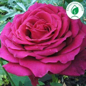 """Троянда """"Big Purple"""""""