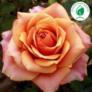"""Троянда """"Cherry Brandy"""""""