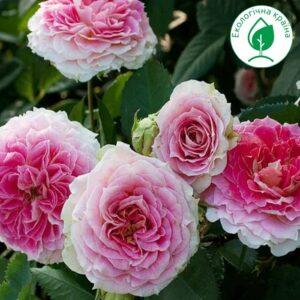 "Троянда ""Cesar"" с7"