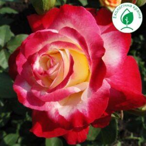 """Троянда """"Double Delight"""" с7"""