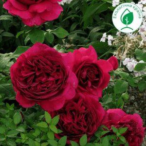 """Троянда """"Dark Lady"""""""