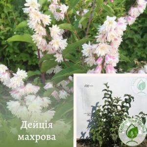 Дейція махрова біло-рожева