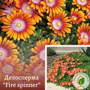"""Делосперма """"Fire spinner"""""""