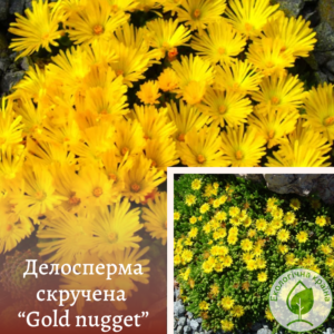 "Делосперма скручена ""Gold nugget"""